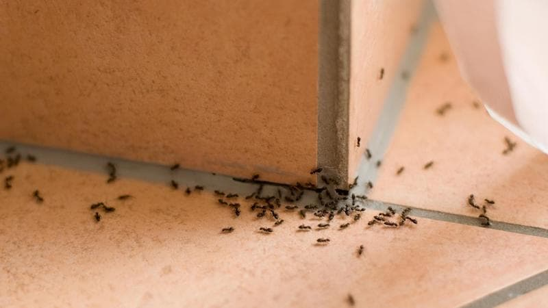 Homeowners insurance coverage and carpenter ant damage