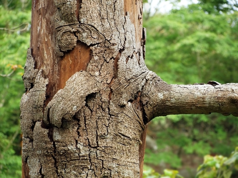Homeowners insurance coverage and diseased trees