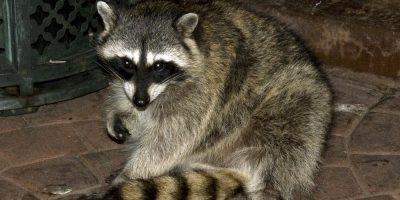 Does Homeowners Insurance Cover Raccoon Damage?