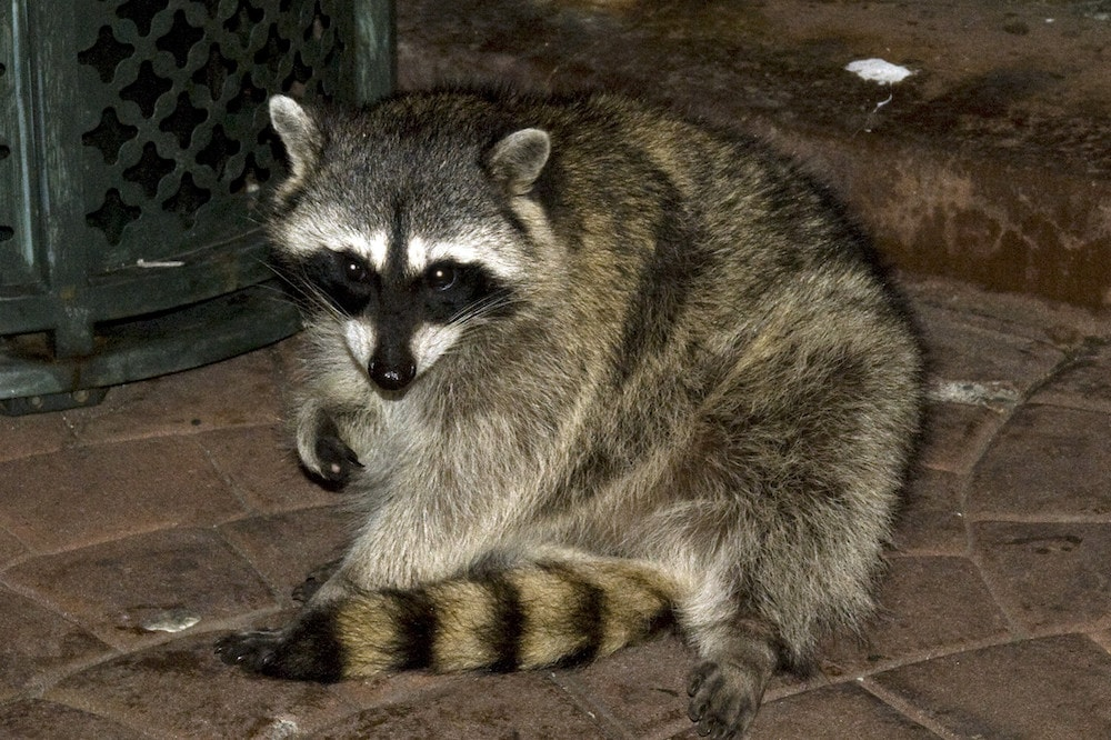 Homeowners insurance racoon damage