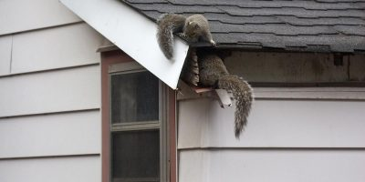 Does Homeowners Insurance Cover Squirrel Damage?