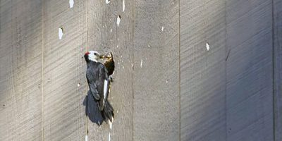 Is Woodpecker Damage Covered By Homeowners Insurance?