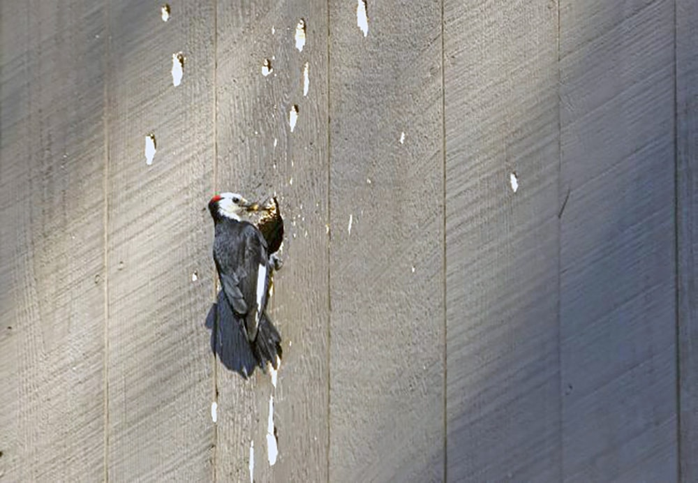 Homeowners insurance and woodpecker damage
