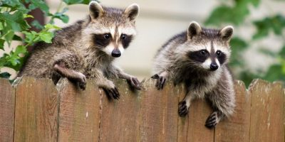 Does Homeowners Insurance Cover Raccoon Removal?